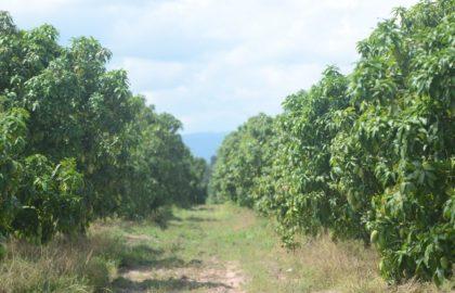 mango-farm
